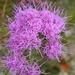 Carphephorus corymbosus - Photo (c) Jason Sharp, todos los derechos reservados, uploaded by SharpJ99