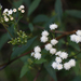 Sticky Snakeroot - Photo (c) Ingeborg van Leeuwen, all rights reserved, uploaded by wildchroma