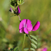 Common Vetch - Photo (c) Ingeborg van Leeuwen, all rights reserved, uploaded by wildchroma