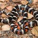 California Mountain Kingsnake - Photo (c) spencer_riffle, all rights reserved