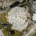 Myriolecis albescens - Photo (c) Crap Fou, כל הזכויות שמורות