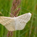 Lesser Cream Wave - Photo (c) wojtest, all rights reserved