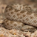 Desert Nightsnake - Photo (c) spencer_riffle, all rights reserved