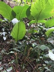 Calathea crotalifera image