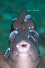 Image of Anilocra prionuri