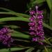 Arpophyllum medium - Photo (c) Adrian Fernandez Diaz, todos los derechos reservados