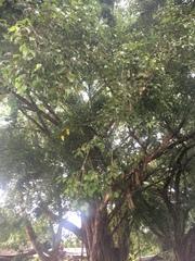 Ficus benjamina image
