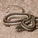 Western Black-necked Gartersnake - Photo (c) spencer_riffle, all rights reserved