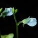 Utricularia uliginosa - Photo (c) WK Cheng, כל הזכויות שמורות