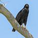 Aguililla Negra Mayor - Photo (c) Hunter McCall, todos los derechos reservados