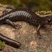 Plethodon stormi - Photo (c) spencer_riffle, todos los derechos reservados