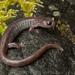 Plethodon asupak - Photo (c) spencer_riffle, todos los derechos reservados