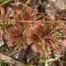 Drosera dilatatopetiolaris - Photo (c) Tim, all rights reserved
