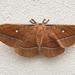 Chinese Tussar Moth - Photo (c) Xisco Truyols, all rights reserved