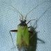 Phytocoris becki - Photo (c) Corey, kaikki oikeudet pidätetään