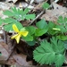 Smooth Yellow Violet - Photo (c) jtuttle, all rights reserved