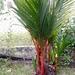 Palma Roja - Photo (c) Lydia Indianwear, todos los derechos reservados