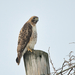 Eastern Red-tailed Hawk - Photo (c) Bill Chambers, all rights reserved