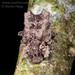 Tarphiomimus undosus - Photo (c) Danilo Hegg, all rights reserved