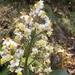 Miconia bella - Photo (c) naisla, todos os direitos reservados