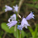 Spanish Bluebell - Photo (c) mjcorreia, all rights reserved