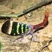 Pyrops karenius - Photo (c) farleysullivan, todos los derechos reservados