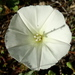 Calystegia macrostegia arida - Photo (c) Jay Keller, all rights reserved, uploaded by Jay L. Keller
