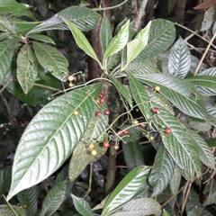 Psychotria marginata image