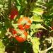 Tomaatti - Photo (c) wojtest, kaikki oikeudet pidätetään