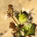 Rumex spinosus - Photo (c) mjcorreia, todos los derechos reservados