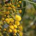 Acacia - Photo (c) mjcorreia, όλα τα δικαιώματα διατηρούνται