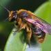 Andrena - Photo (c) Rusty Burlew, all rights reserved