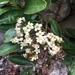 Viburnum odoratissimum - Photo (c) 陳思瑜, todos los derechos reservados