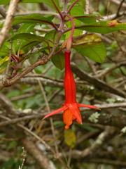 Image of Fuchsia vulcanica