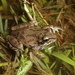 Strecker's Chorus Frog - Photo (c) Toby Hibbitts, all rights reserved