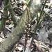 Mesadenella tonduzii - Photo (c) Luis Ramirez, todos los derechos reservados