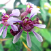 Cuphea fruticosa - Photo (c) Pía Urruzuno, all rights reserved