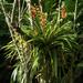 Guzmania donnell-smithii - Photo (c) Wendy Feltham, todos los derechos reservados