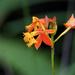 Epidendrum radicans - Photo (c) Wendy Feltham, kaikki oikeudet pidätetään