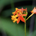 Fire-star Orchid - Photo (c) Wendy Feltham, all rights reserved
