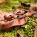 Culebra Arbórea de Ojos Rojos - Photo (c) Kelvin Wu, todos los derechos reservados