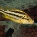 Cheilochromis euchilus - Photo (c) Juan Miguel Artigas Azas, all rights reserved
