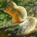 Mexican Fox Squirrel - Photo (c) Alfonso, all rights reserved