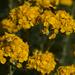 Eriophyllum confertiflorum confertiflorum - Photo (c) Eric in SF, כל הזכויות שמורות, uploaded by Eric Hunt