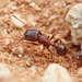 Loisnummimuurahaiset - Photo (c) Philip Herbst, kaikki oikeudet pidätetään