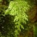 Hymenophyllum baileyanum - Photo (c) Te Papa, todos los derechos reservados
