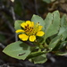Encelia densifolia - Photo (c) Joey Santore, some rights reserved (CC BY-NC)