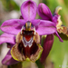 Sawfly Orchid - Photo (c) Valter Jacinto, all rights reserved
