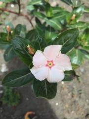 Catharanthus roseus image