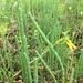 Salicornia ambigua - Photo (c) Michael Johnson, όλα τα δικαιώματα διατηρούνται